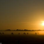 [:nl]Koeien bij zonsopgang[:en]Cows at sunrise